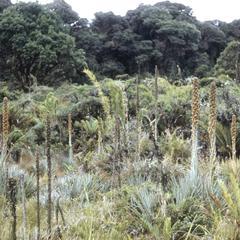 Puya-Lomaria bog in cloud forest