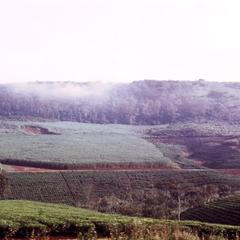Tea Plantation in Kigezi District