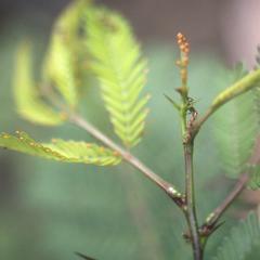 Bullhorn Acacia (Fabaceae)