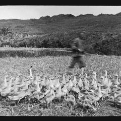 Herding geese, Yeungkong 陽江.