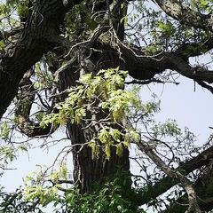 Bur oak tree in flower