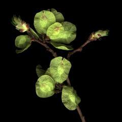 Fruiting twig of Ulmus americana