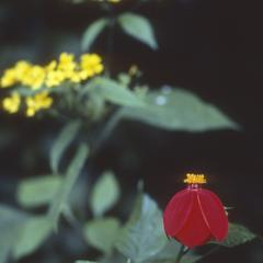 Red flower of Dahlia coccinea, Zarzamora