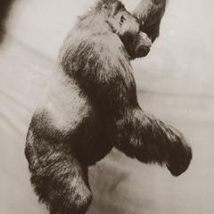 Carl Akeley Taxidermed Gorilla