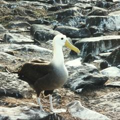 Waved Albatross (Diomedea irrorata)