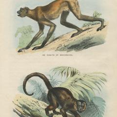 De Coaita of Boschouivel & De Capucijner-Aap