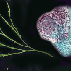 Shoot with  sporangia of Psilotum