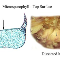 Longitudinal section and dissected microsporangiate cone, view of top of microsporophylls of red pine