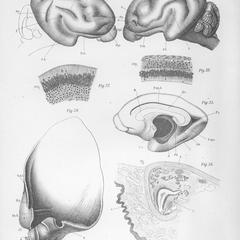 Zur Anatomie von Chiromys