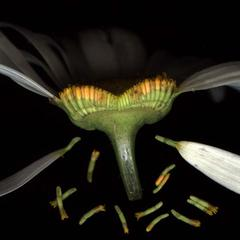 Longitudinal section of a head of flowers of Chrysanthemum