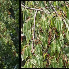 Prunus serotina - fruiting branch composite