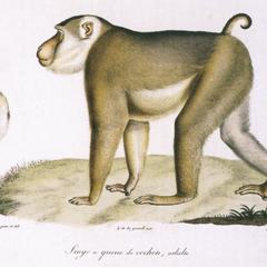Female Northern Pig-Tailed Macaque Print
