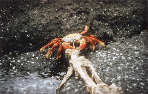 Sally Lightfoot Crab (Grapsus grapsus) and limb of Galápagos Sea Lion (Zalophus wollebaeki)