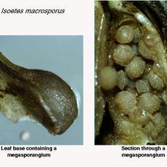 Isoetes Braunii - longitudinal section megasporophyll