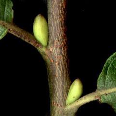Single bud scale of Salix bebbiana