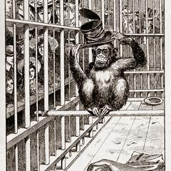 Zoo Chimpanzee Print