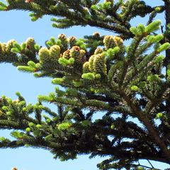 Abies fraseri - ovulate cones