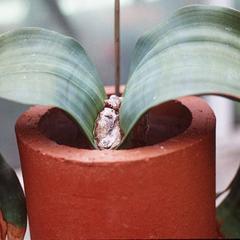 Young plant of Welwitschia mirabilis