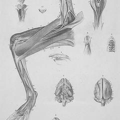 Forelimb muscles of a male Aye-aye