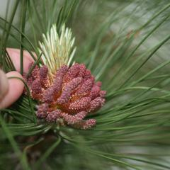 Red pine with bough with elongating microsporangiate strobil