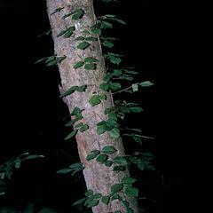 Vine of Toxicodendron radicans