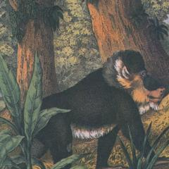Walking Mandrill Print