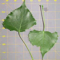 Leaves of Cottonwood