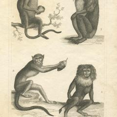 Malbrouck, Mandrill, and Macaque Print