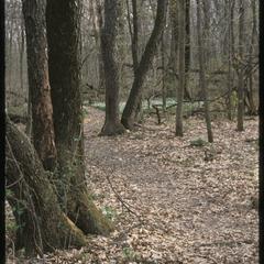 Large black cherry trees in spring, Gallistel Woods, University of Wisconsin Arboretum