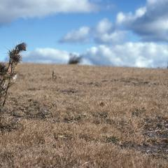 """""""Alpine"""" thistle, just south of Totomicapan"""
