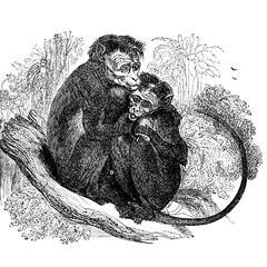 The Toque, or Bonnet-Monkey (Cercopithecus radiatus)