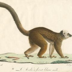 Walking White-Headed Lemur Print