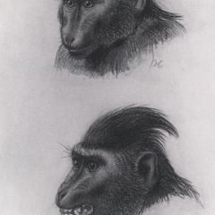 Celebes Crested Macaque Print