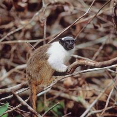 Saguinus bicolor bicolor