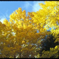 Sugar maple - fall color with hemlock