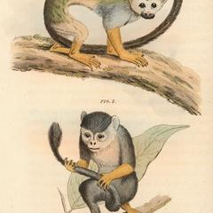 The Squirrel Monkey