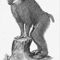 Common Baboon