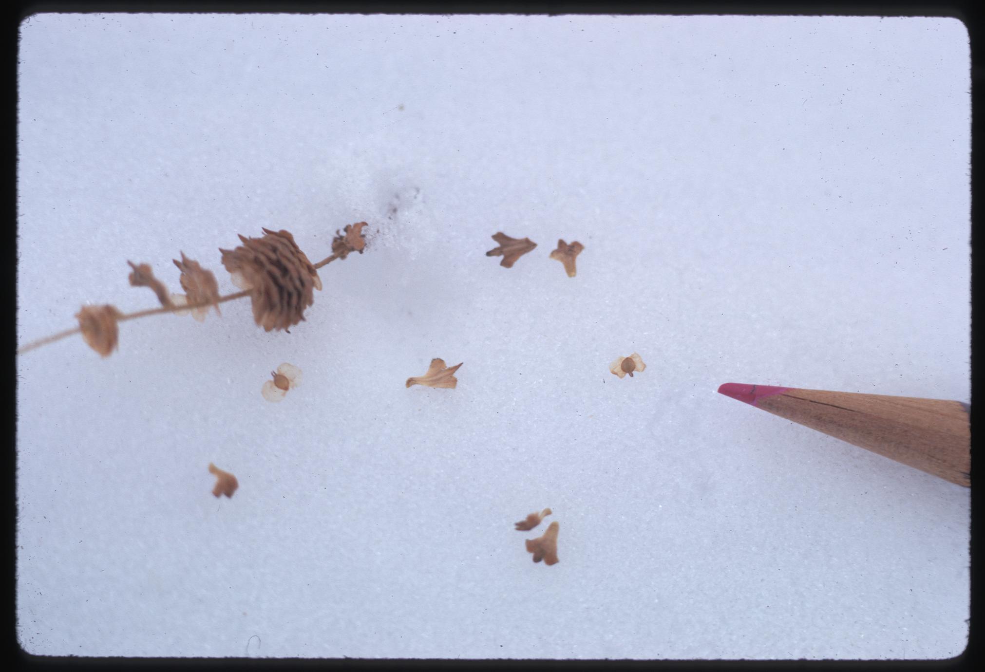 White birch seeds on snow