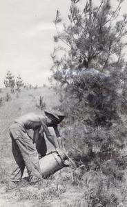 CCC workers watering a pine