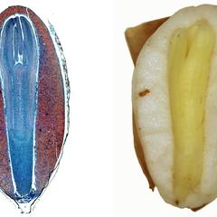 Composite of longitudinal section and dissected pine seed