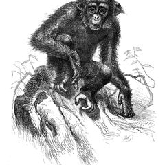 The Chimpansee