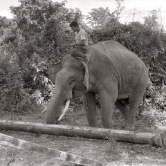 Elephant with log 2