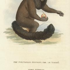 The Fox Tailed Monkey