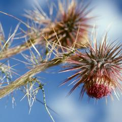 Flowers of a gigantic species of thistle (Cirsium), south of Totomicapan