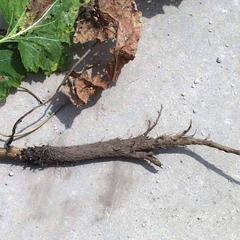 Tap root of burdock