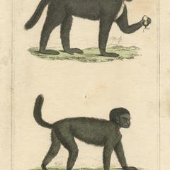 The Masked Monkey & The Mourning or Widow Monkey