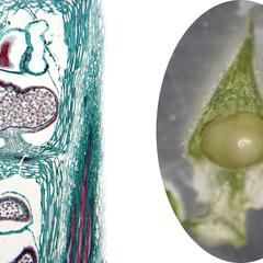 Lycopodium obscurum - sporophylls