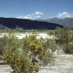 Atriplex on alkaline playas near Cuatro Ciénagas