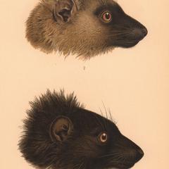 Lemur macaco