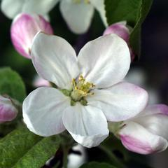 Flower of Malus domestica